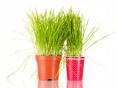 Green grass in two flowerpot isolated on white