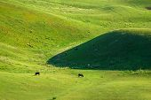 Beautiful Natural Scenic Of Cattle Grazing On Pasture Field In Sunlight,idyllic Lifestyle In Rural C poster