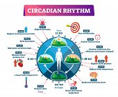 Circadian Rhythm Vector Illustration. Labeled Educational Day Cycle Scheme. Daily Human Body Inner R poster