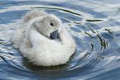 Cute Cygnet Swan