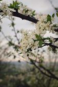Bunches Of White Cherry Blossoms.spring Cherry Blossoms At Sunset poster