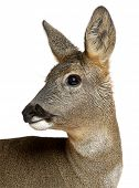 stock photo of deer head  - European Roe Deer - JPG