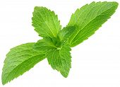 stock photo of substitutes  - Stevia rebaudiana - JPG