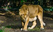 Closeup Of A Female Asiatic Lion Walking. Wild Tropical Cat, Endangered Animal Specie From Asia poster