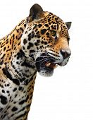 Jaguar head isolated. Wild animal showing teeth, white background