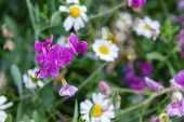 Wild Flowers In A Meadow Nature. Natural Summer Background With Wild Flowers In The Meadow In The Mo poster