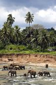 Elephants in the Maha Oya river,  Pinnawela elephant orphanage, Sri Lanka. Jungle and stormy sky bac