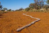 Australian Millipede Crawler