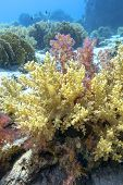 Colorful Coral Reef At The Bottom Of Tropical Sea,  Broccoli Coral, Underwater Landscape poster