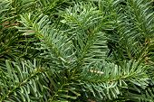 Spruce Branch. Fir Branch. A Branch Of An Evergreen Tree. Christmas Background. New Year Background. poster