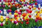 Large Blooming Flower Bed With Motley Multicolored Hybrid Tulips poster