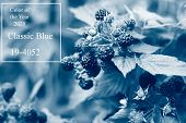 Berries Blackberries On The Bush In The Open Air , Natural Food Product , Toning In A Classic Blue C poster