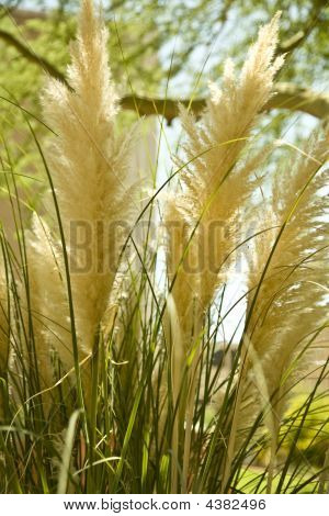 poster of Fluffy Bog Reed Tufts