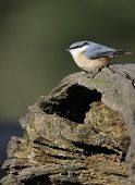stock photo of hollow log  - Eurasian Nuthatch  - JPG