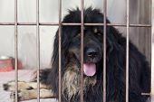 Purebred mastiff in cage poster