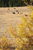Nicola Valley Horses Grazing, British Columbia