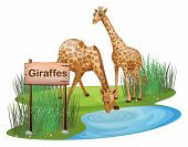Illustration of the two giraffes at the pond near a signboard on a white background