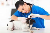 picture of veterinary clinic  - beautiful young female veterinarian examining pet dog - JPG
