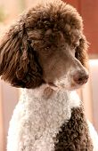 stock photo of standard poodle  - Standard parti poodle - JPG