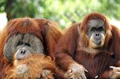 Indonesia; Sumatra; Orang Utan