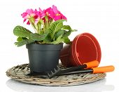 Beautiful pink primula in flowerpot and gardening tools, isolated on white