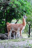 Guanaco walking in Miami zoo