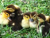picture of baby duck  - 7 baby ducklings all in a huddle trying to nap
