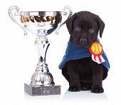 happy labrador retriever puppy dog sitting near a big trophy cup