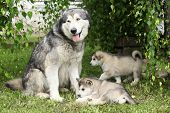 stock photo of bitch  - Alaskan Malamute bitch with puppies under the twigs of birch - JPG