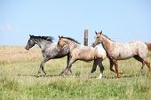 stock photo of appaloosa  - Nice appaloosa horses running on pasturage in summer