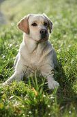 Labrador Retriever Sitting Down In The Backlight