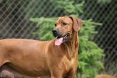 stock photo of bitches  - Rhodesian ridgeback bitch looking in front of one tree - JPG