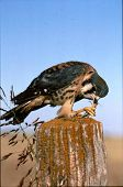 stock photo of hawk  - Also known as sparrow Hawk - JPG