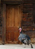 Wild Turkey at Cabin Door