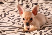 LITTLE CHIHUAHUA LAYS ON A COVERLET
