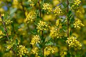 Flowering Of Bushes Blackcurrant