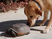 Exchanging business cards between a yellow lab and a gopher turtle