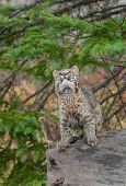 Bobcat Kitten (Lynx rufus) Looks Way Up From Atop Log