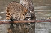Raccoon (Procyon lotor) Sniffs At Log