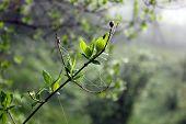 jasmine twig