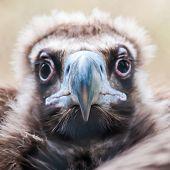 Young Baby Vulture Raptor Bird