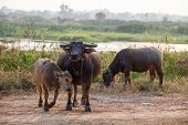 image of female buffalo  - Close up buffalo in the field thailand - JPG