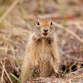 Curious Arctic Ground Squirrel Urocitellus Parryii