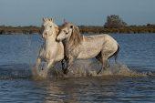 running stallions