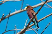Broad Billed Roller Perched In A Baobab Tree