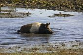 Semi-wild pig crowling inside the mud at lake Kerkini in north Greece