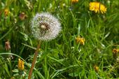 Dandelion Flower Real Macro