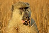 Baboon Monkey In Tsavo Park, Kenya