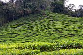 stock photo of cameron highland  - Tea Plantation on hill slopes of  Cameron Highlands - JPG