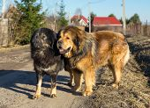 stock photo of tibetan  - Two Tibetan Mastiff stands on a dirt road on a sunny day - JPG